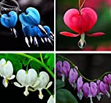 Lamprocapnos spectabilis Mixed Bleeding Heart Perennial Herbs Flower, 5 seeds, Exotic Blooms Ornament Plant