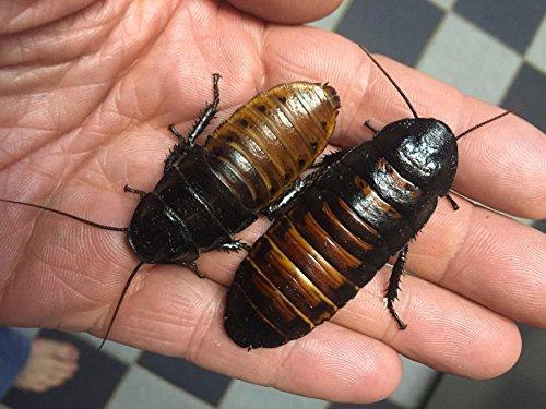 Bizarre Weird Crazy Stuff They Sell On Amazon. Madagascar Hissing Cockroaches on Amazon
