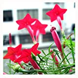 CYH YI Xuan - Cypress Vine 150 Seeds Easy to Grow