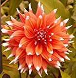 Dahlia color spectacle ( 1 Tuber ) Giant Flowers, Great Cut Flowers !