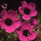 Plant World Seeds - Geranium psilostemon Seeds