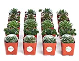 "Shop Succulents | Sempervivum Hen and Chick, Hand Selected Variety Pack of Live Succulents | | Collection of 20 in 2"" pots, 20, Green"