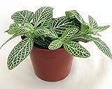 """Silver Nerve Plant - Fittonia Verschaffeltii - 2.5"""" Pot"""