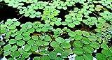 Hot Sale! Water Spangles-Salvinia minima-Live Aquarium/Aquatic/Floating (10 Plants)