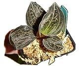 Anoectochilus chapaensis jewel orchid, wonderful brown leaves, copper veins