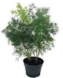 """Chinese Ming Fern - Asparagus macowanii - 4"""" Pot- Easy to Grow- Great Houseplant"""