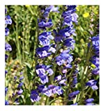 David's Garden Seeds Flower Penstemon Rocky Mountain SL1124 (Blue) 500 Non-GMO, Open Pollinated Seeds