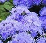 Ageratum - Blue Danube - 50 Seeds