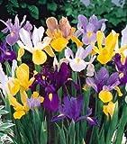 Dutch Iris Mixed Color, Perennial Iris 12 Bulbs