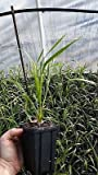 One Live Plant Phoenix Roebelinii Seedling Pygmy Date Palm Tree