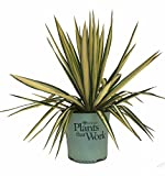 Plants That Work Variegated Yucca - Yucca Filamentosa Color Guard - 2 Gallon