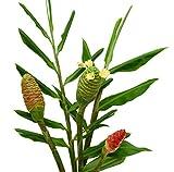 Shampoo Ginger Zingiber Zerumbet Live Plant
