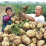 10pcs Yam Bean Seeds Very Sweet Fruit And Vegetable Plants, Chinese vegetable seed Sweet Potato