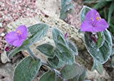 Tradescantia sillamontana is a perennial evergreen herbaceous plant .