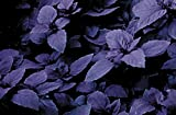 Basil - Red Rubin - 75 Seeds