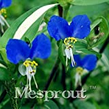 AGROBITS New Arrival Commelina communis Bonsai 100pcs Flowers Bonsai Home& Garden Bonsai Family DIY Plant Courtyard
