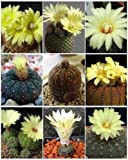 Frailea Variety Mix Exotic Mixed Cacti Rare Flowering Cactus semi Seed 15 Seeds