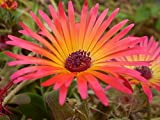 200 ICE PLANT MESEMBRYANTHEMUM DAISY Flower Seeds Mixed Colors