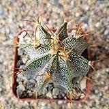 Astrophytum ornatum metztitlan Cactus Cacti Succulent Real Live Plant