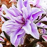 Purple Amaryllis Bulbs (2 Bulbs) Perennial Elegant Fragrant Flowers Outstanding Indoor Blooms