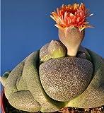 Pleiospilos Nelii succulent cactus 10 seeds~living Stones~Not Lithops Seeds