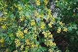 Ribes Aureum,Golden Currant, Clove Currant, (3 Native Plants)