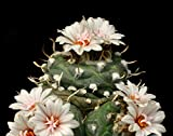 Turbinicarpus Polaskii rarest catus Plants 5 Seeds~Not Astrophytum,Frailea