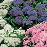 Outsidepride Ageratum Mexicanum Mix - 5000 Seeds