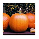 David's Garden Seeds Pumpkin Jack O'Lantern SL9831 (Orange) 50 Non-GMO, Heirloom Seeds