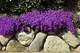 50+ AUBRIETA BRIGHT PURPLE ROCK CRESS FLOWER SEEDS / PERENNIAL / DEER RESISTANT