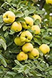 Cydonia Provence Quince plant, 1 year old, bare root, good pear rootstock