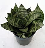 "Dwarf Zeylanica Snake Plant - Sanseveria - Impossible to kill! - 4"" Pot"