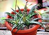 Aloe RAUHII Exotic Agave Medicinal Gel Succulent Rare Desert Plant Seed 10 Seeds
