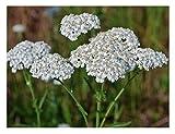 David's Garden Seeds Flower Achillea Yarrow White SL118I (White) 500 Non-GMO, Heirloom Seeds