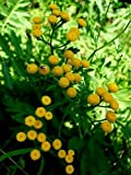 Tansy Perennial Herb - 4 Plants - Tanacetum - Natural Mosquito/Insect Repellant