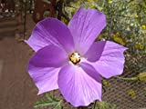 Alyogyne huegelii   Blue Hibiscus   100_Seeds