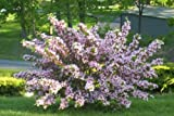 Variegated Weigela - Live Plant Shipped 2 Feet Tall by DAS Farms (No California)