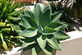 Agave 'Foxtail Agave' Attenuata Live Plant