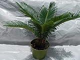 """Sago Palm Plant, 6"""" POT"""