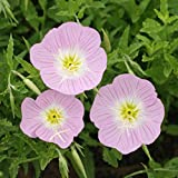 Outsidepride Showy Evening Primrose Flower Seeds - 5000 Seeds