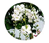 White DURANTA Live Semi-Tropical Plant Sky Flower Pigeon Berry Golden Dew Drop Starter Size 4 Inch Pot Emerald tm