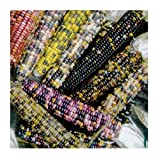 David's Garden Seeds Corn Dent American Way 2245 (Multi) 100 Non-GMO, Open Pollinated Seeds