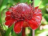 10 Seeds Etlingera Elatior Red Colored Torch Ginger