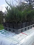 Lot of Ten (10)Juniper, Blue Tamarix 'Tamariscifolia New Blue' (ground cover)