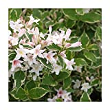 White Variegated Weigela - Healthy Established Roots - 1 Gallon Potted - 1 Plant by Growers Solution
