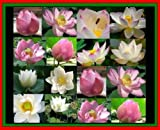 10 MIXED LOTUS SEEDS NELUMBO NUCIFERA POND PLANTS not water lily + FREE PHYTO Flower Fresh & Viable From Garden