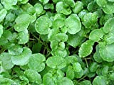 Rare Organic Herb seeds Watercress (Nasturtium officinale) Dietary. 200 Seeds