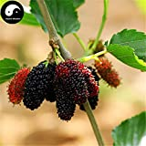 Herbs Chinese Planting Fruit Trees Buy Mulberry Tree Semente 100pcs Plant Chinese Fructus Mori for Fruits Sang Shen
