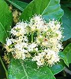 Viburnum Odoratissimum Sweet Viburnum Potted Plant, Beautiful Flowering Perennial Plant
