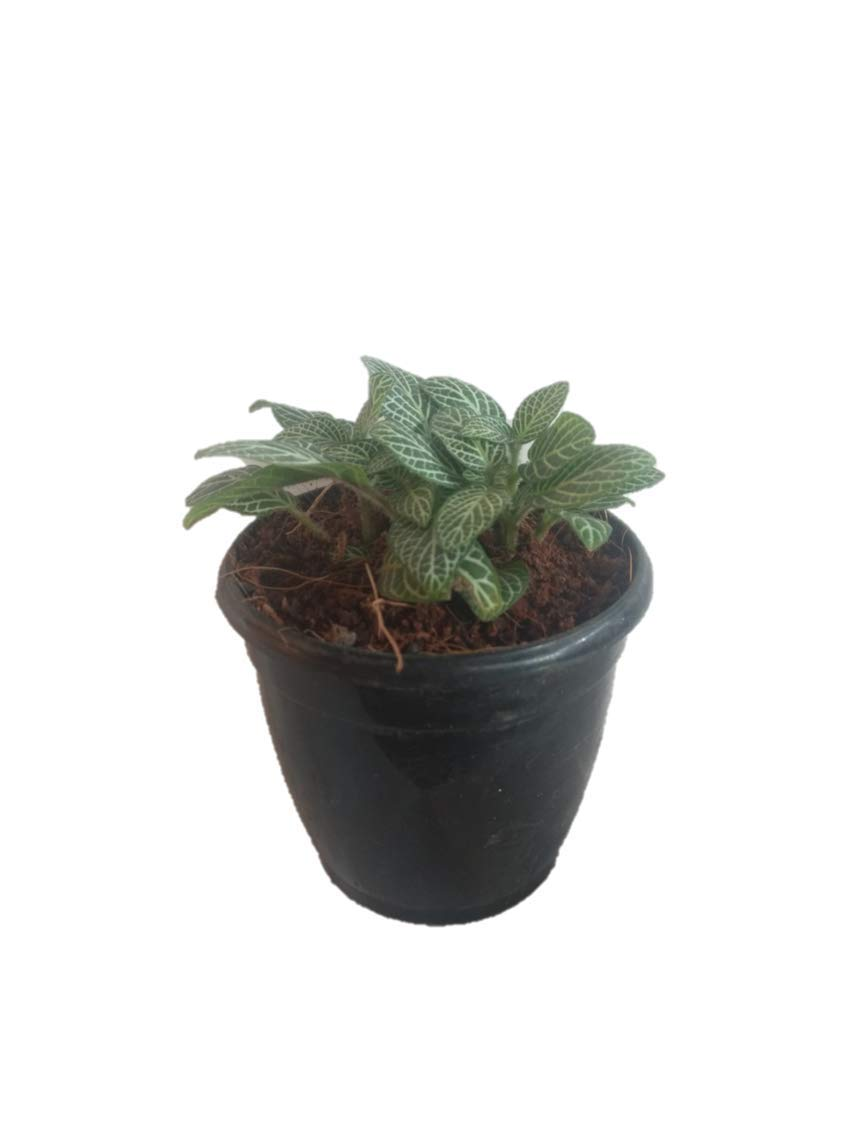 Root Bridges Green Fittonia Plant (Pot Included)